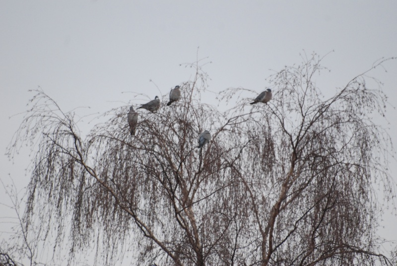 Pigeons in tree at side of canal