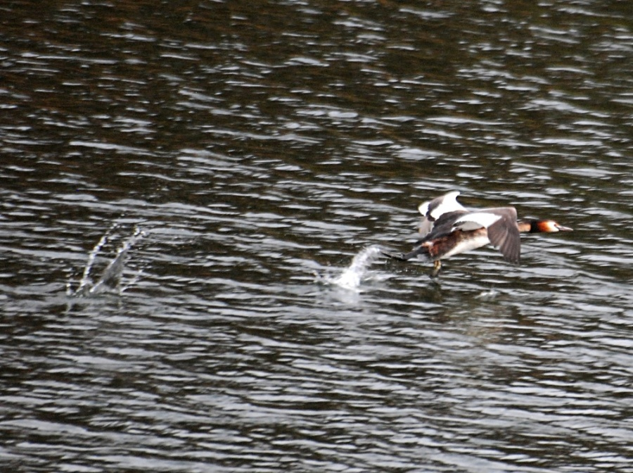 "Grebe ""flying"""