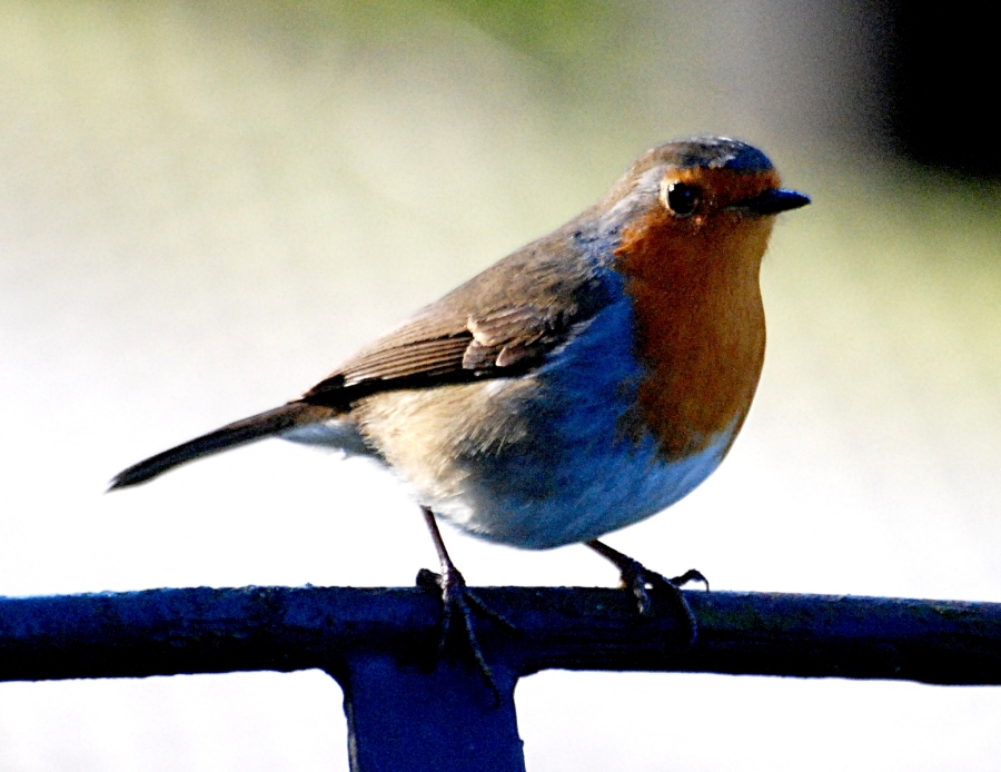 This robin seemed to intentionally pose for the camera.