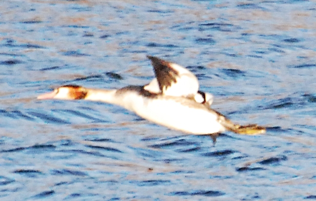 A grebe flying down the lake.