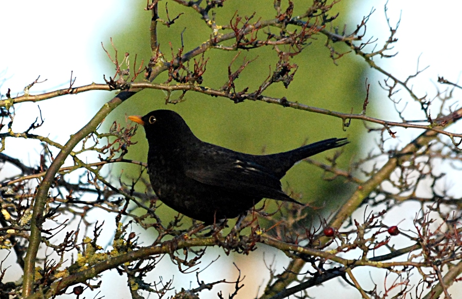 They pose well, these birds: this time a blackbird.