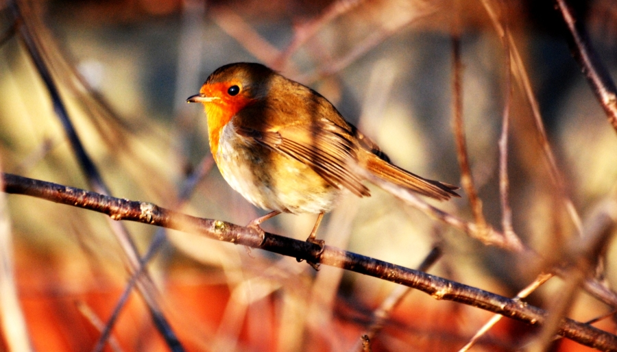 Robin still posing.