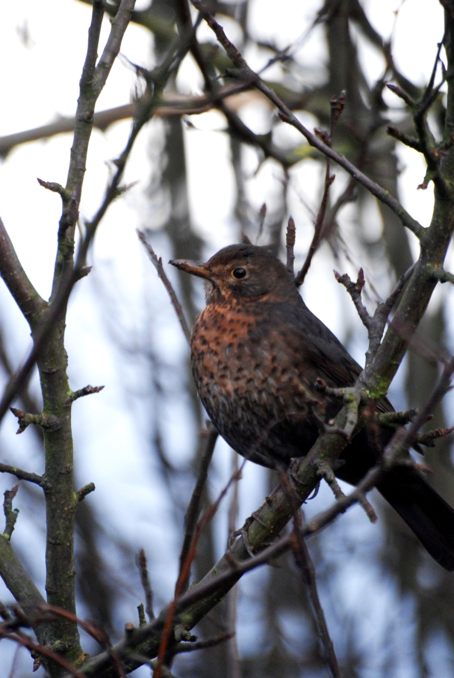 Bird either a female blackbird or a thrush