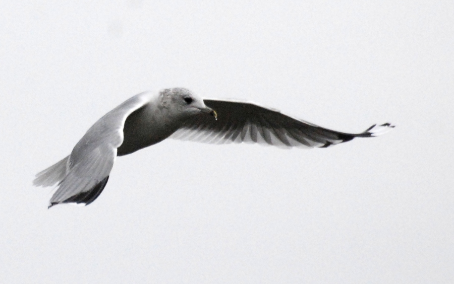 Another gull!