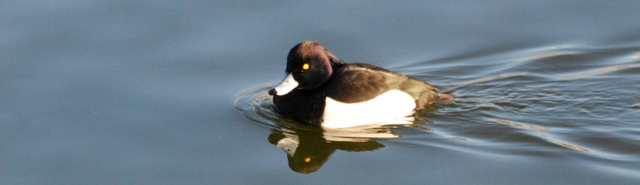 Tufted ducks are really cute!