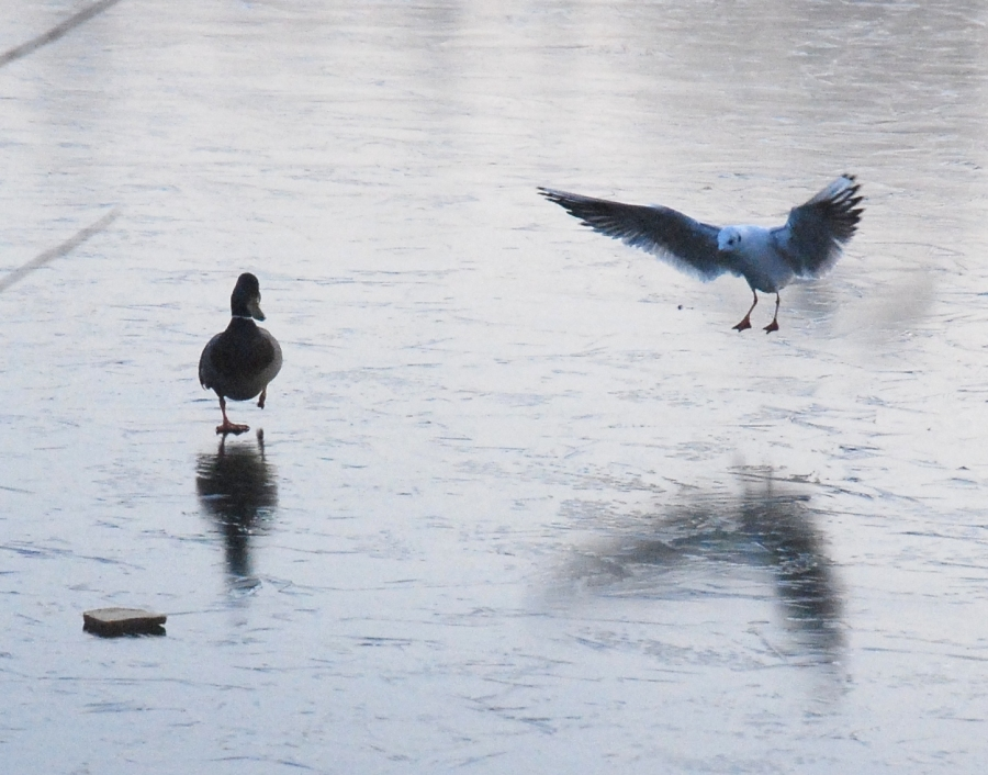 Duck & Gull heading for bread