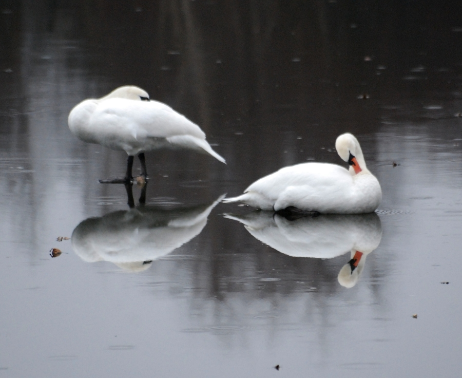 Pair of swans preening on the ice.