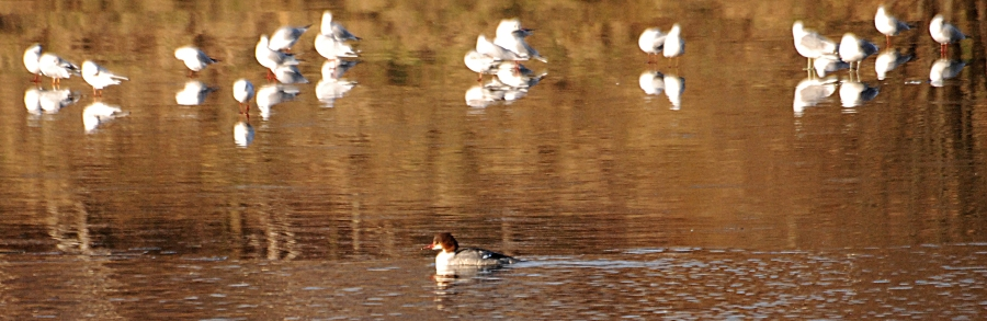 Goosander in the water, gulls on the ice.