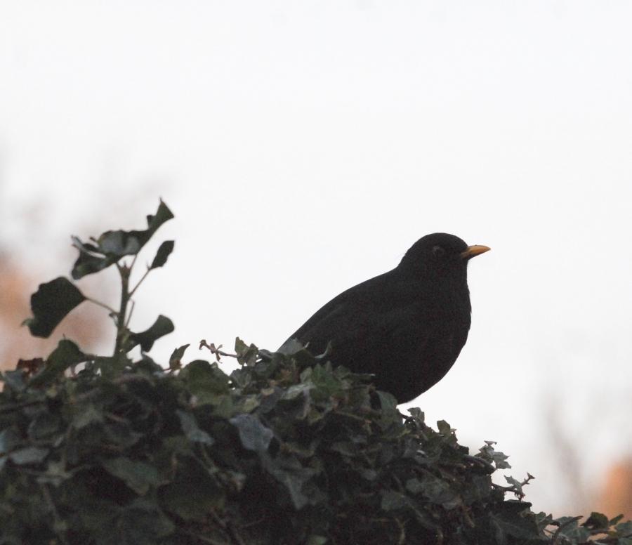 30:13:15:13 Blackbird