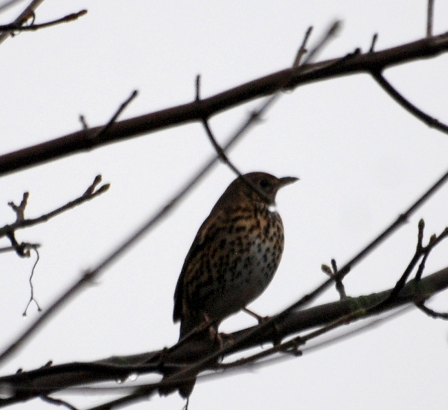 Thrush near the canal winding hole
