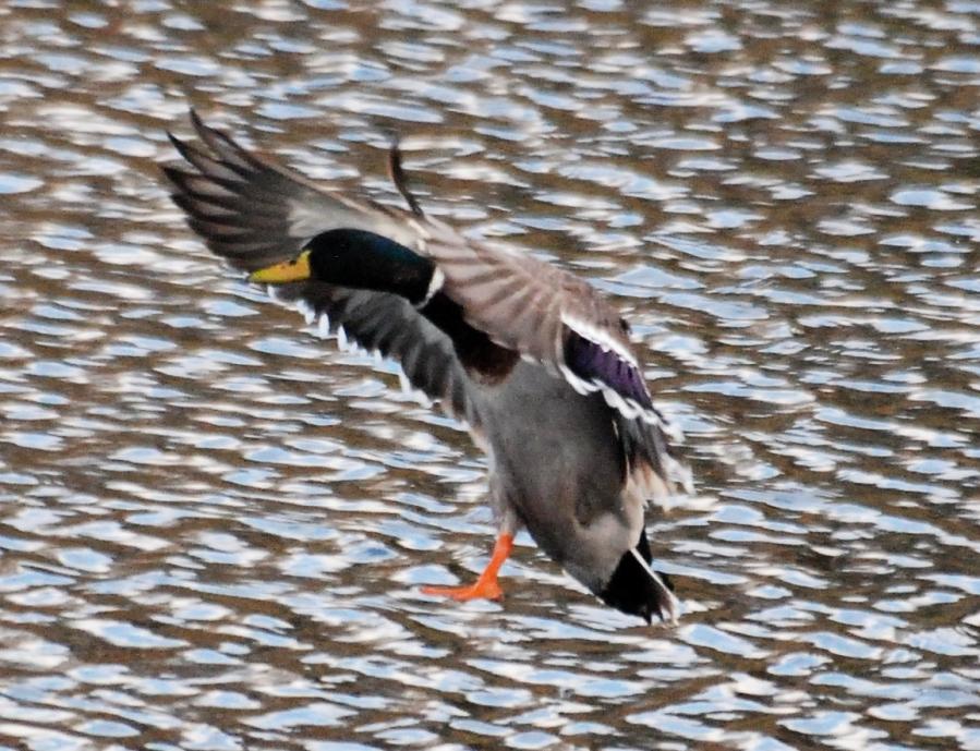 Mallard landing on the pond.