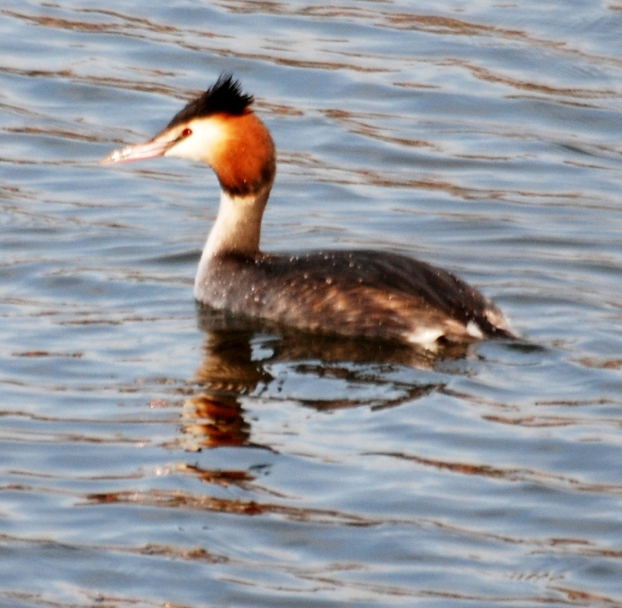 The great crested grebe is still there but the goosanders seem to be early morning visitors only.