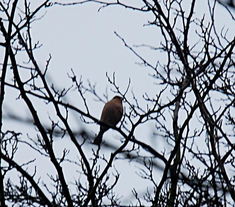 Bullfinch?