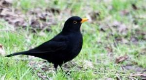 commonest visible birds