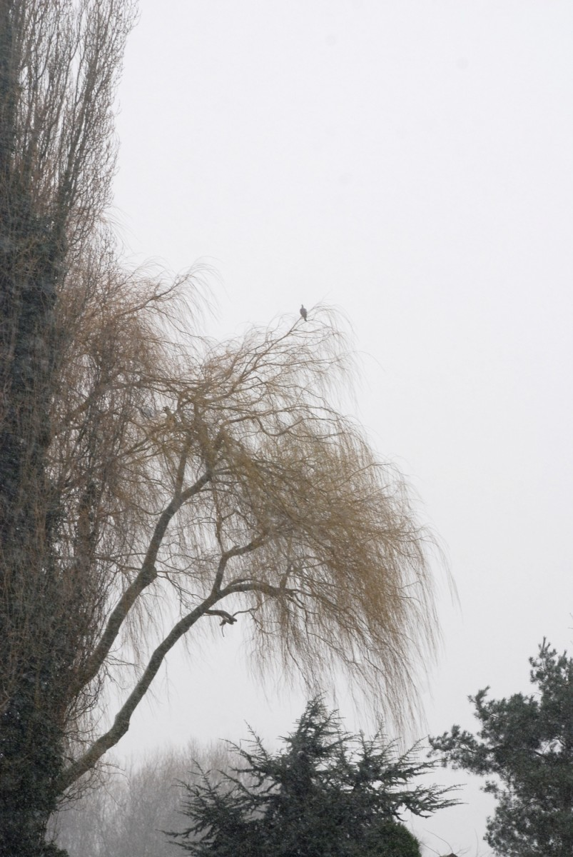 Poplar, willow & pigeon