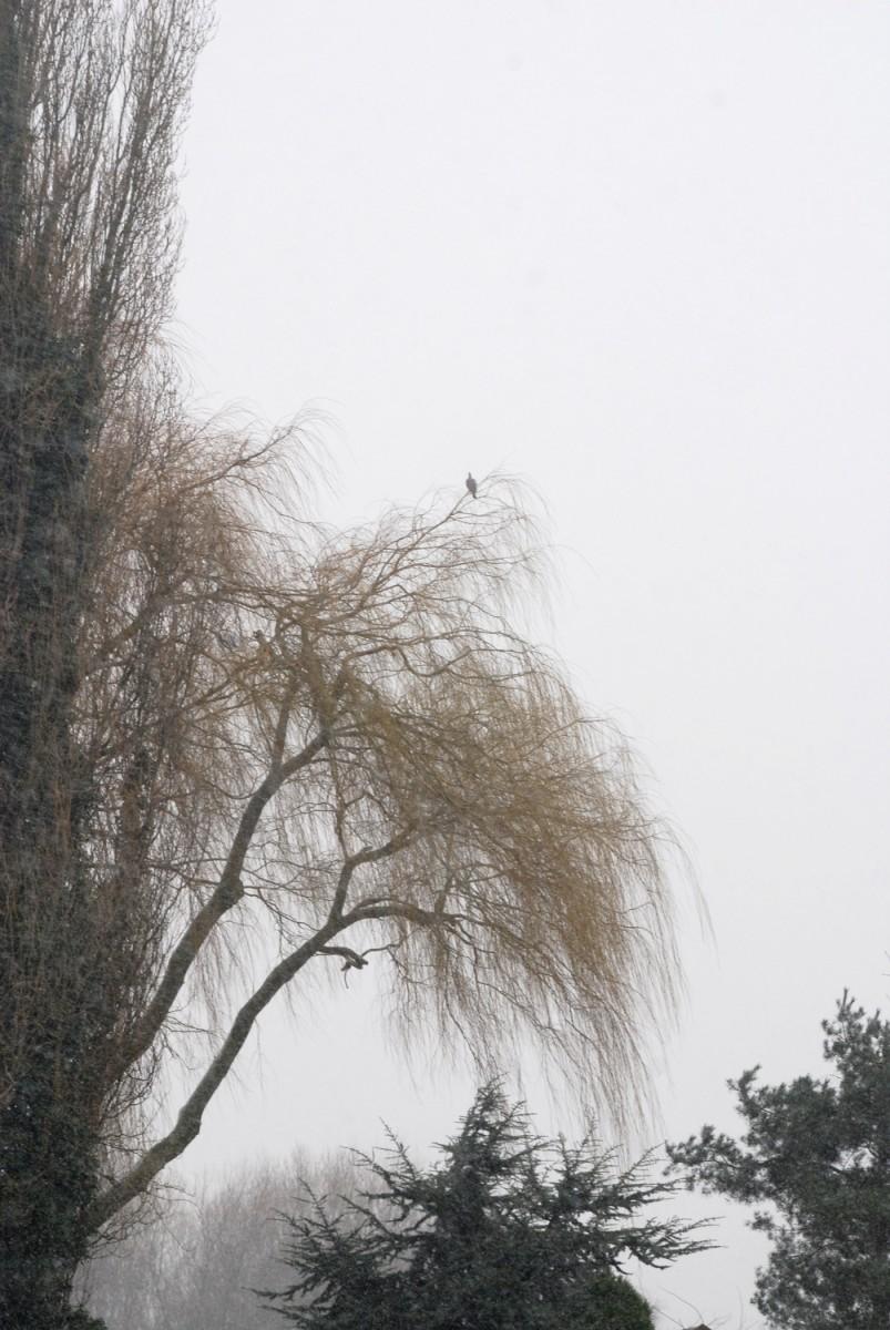 Poplar, willow & pigeon