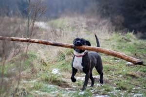 "Dog with a ""stick"" weighing as much as himself"