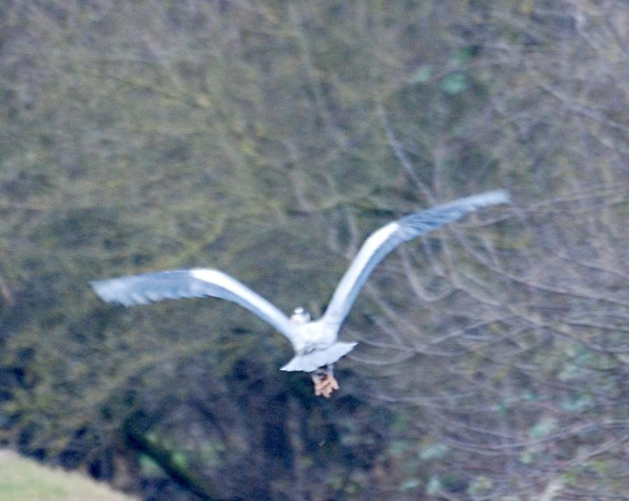 Heron buggerin' off