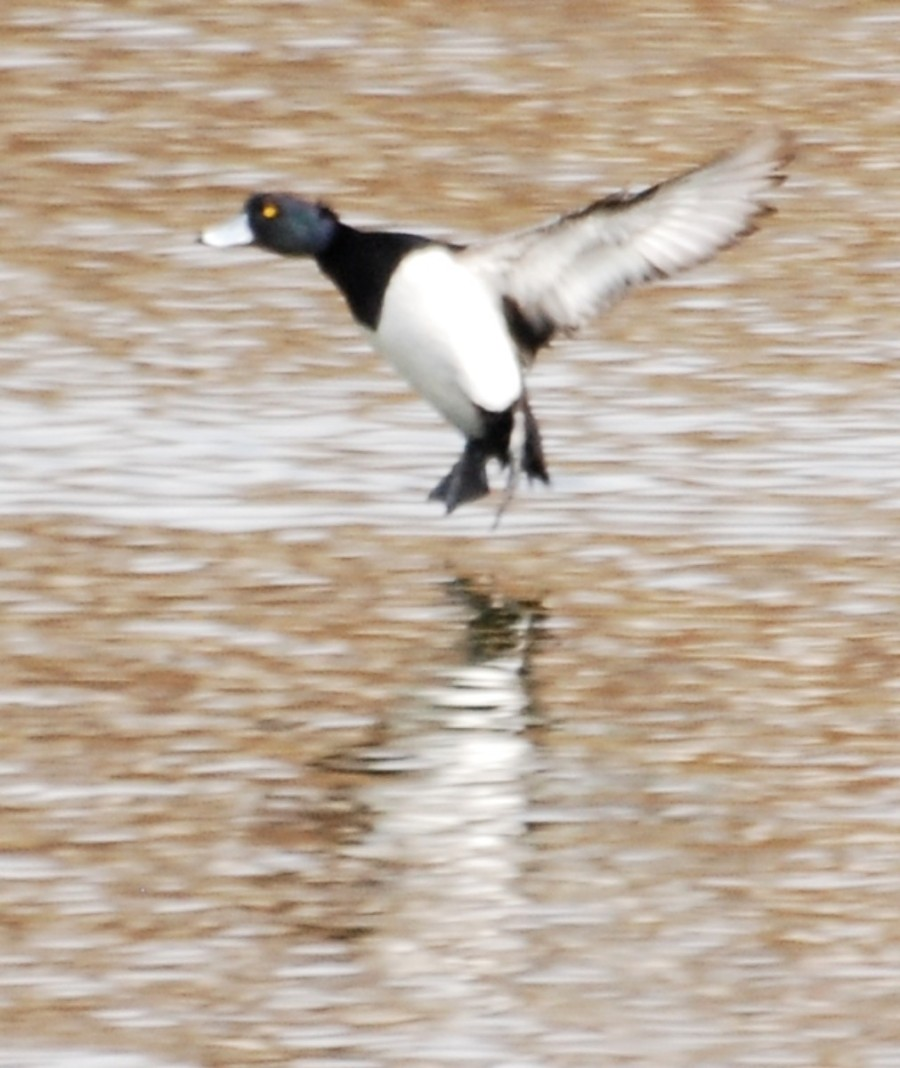 Tufted duck landing on the water