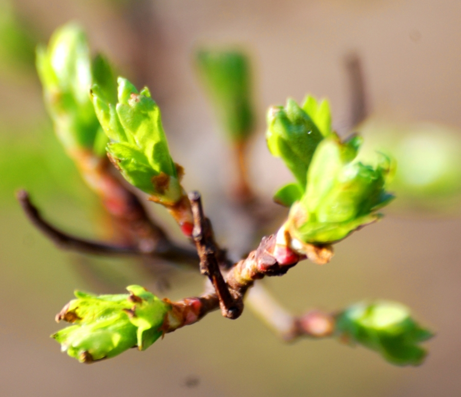 Hawthorn leaves breaking out.