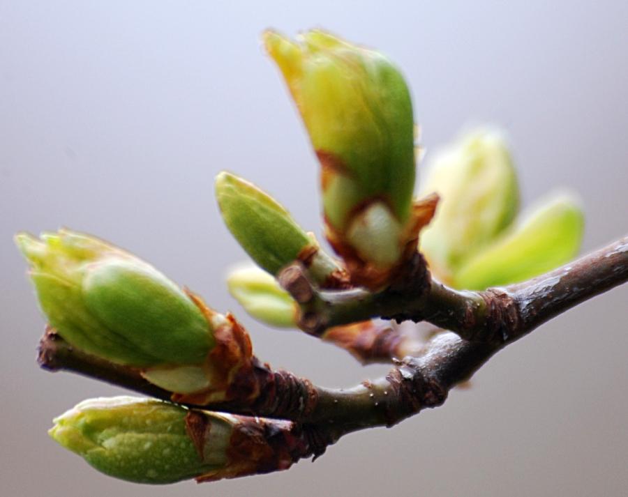 Sprng leaf buds