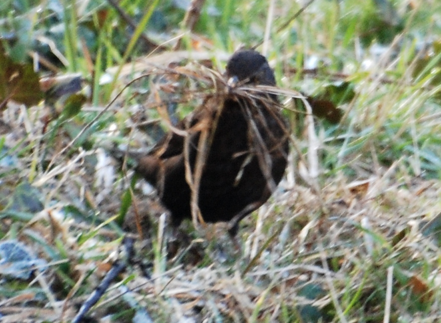 A blackbird collecting nest stuff