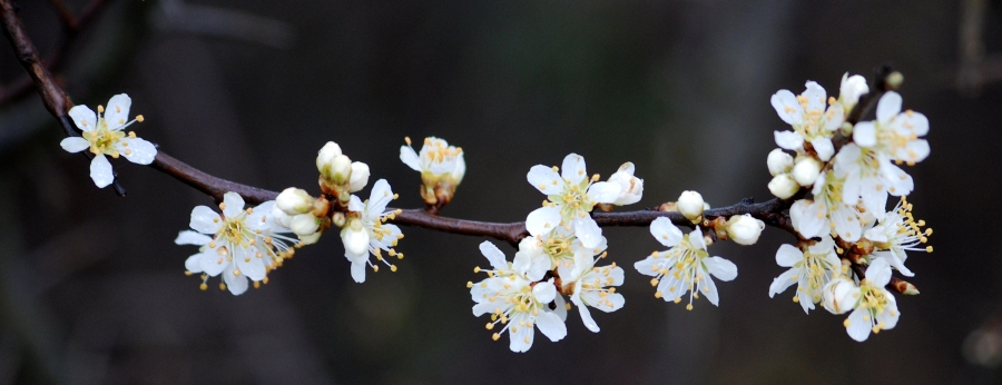 Never get tired of the beauty of blackthorn blossom