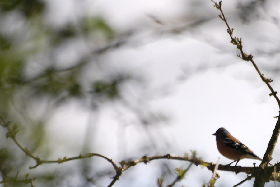 Another arty one of a chaffinch
