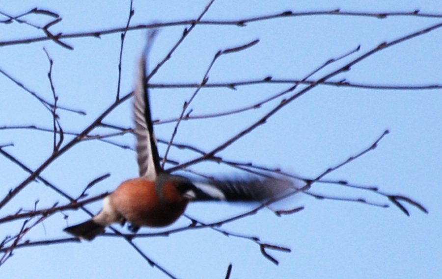 Chaffinch doin' the buggerin' off.