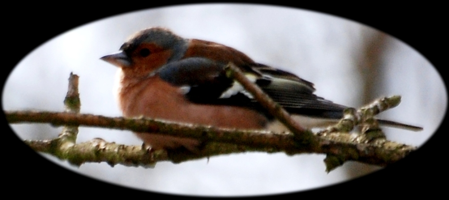 Chaffinch sitting there.