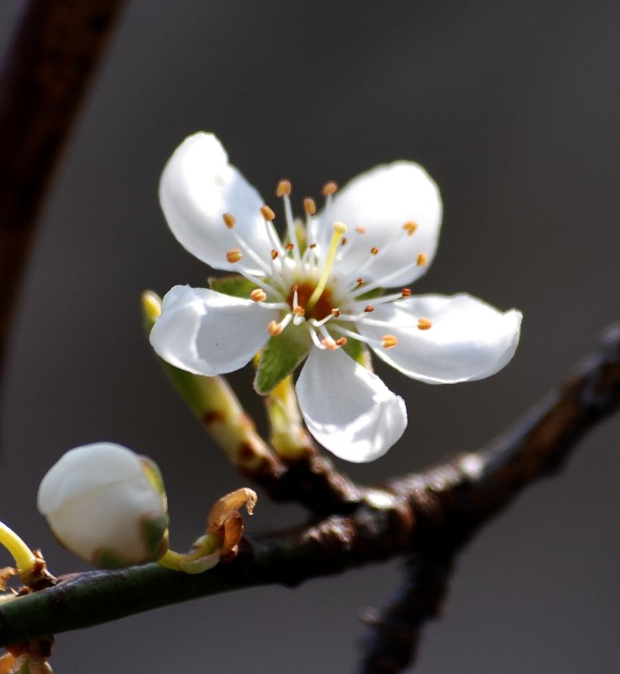This isn't a blackthorn - it's a damson flower.