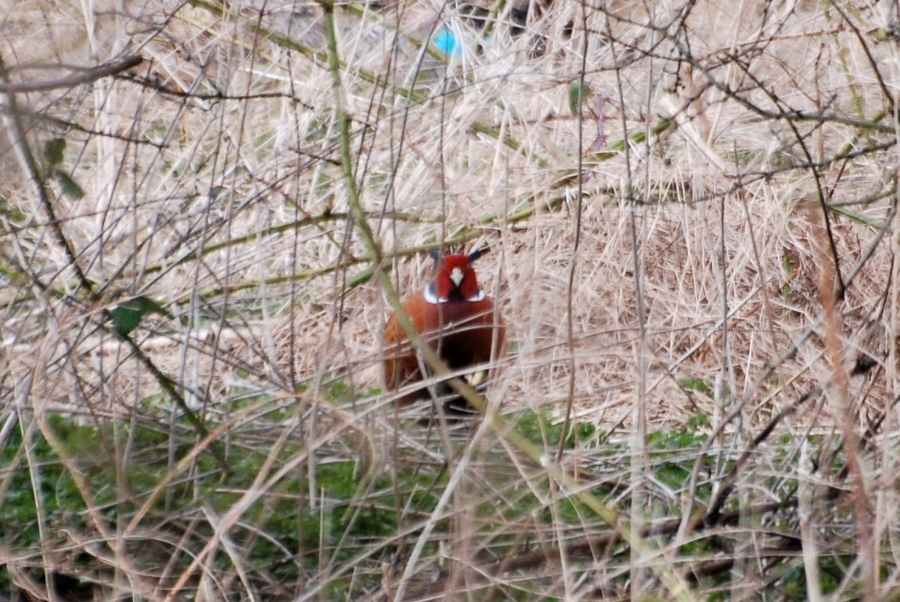 Pheasant skulking in the undergrowth