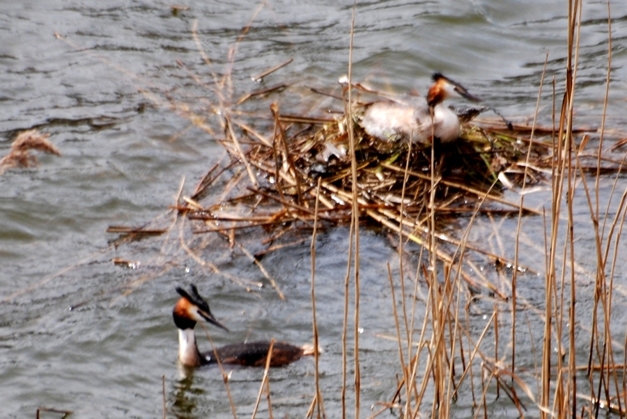 Grebes. Here's mum and dad