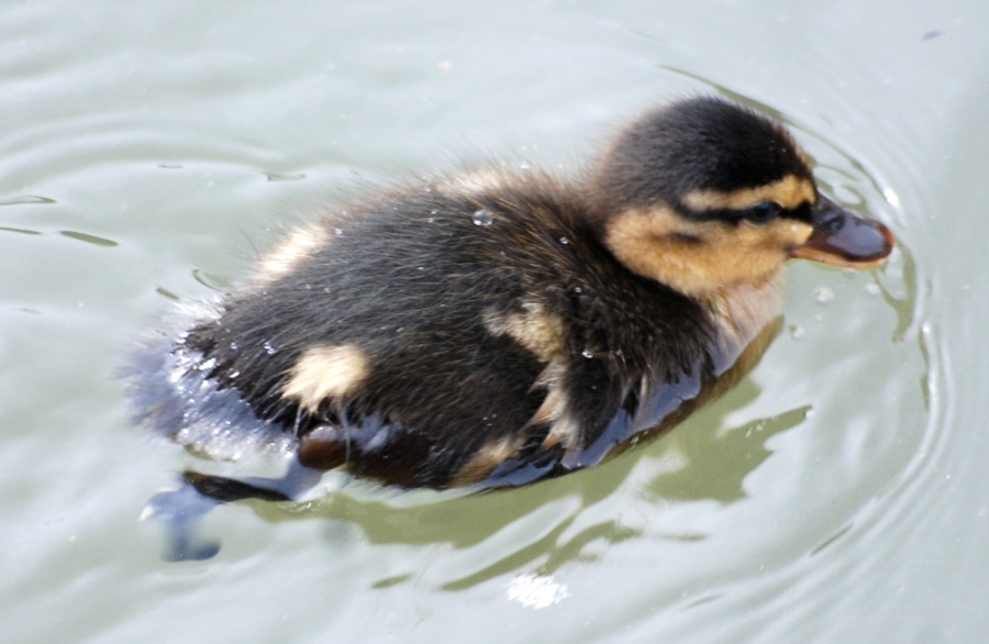 ... and one of the first ducklings.