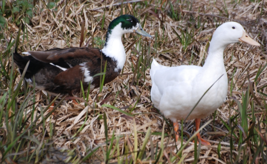 Those ducks again