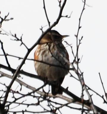 Dunnock or sparrow