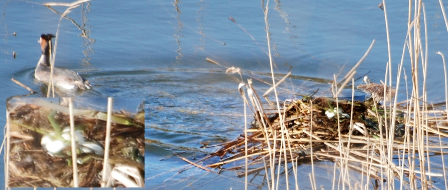 Grebe nest at changeover - count the eggs.