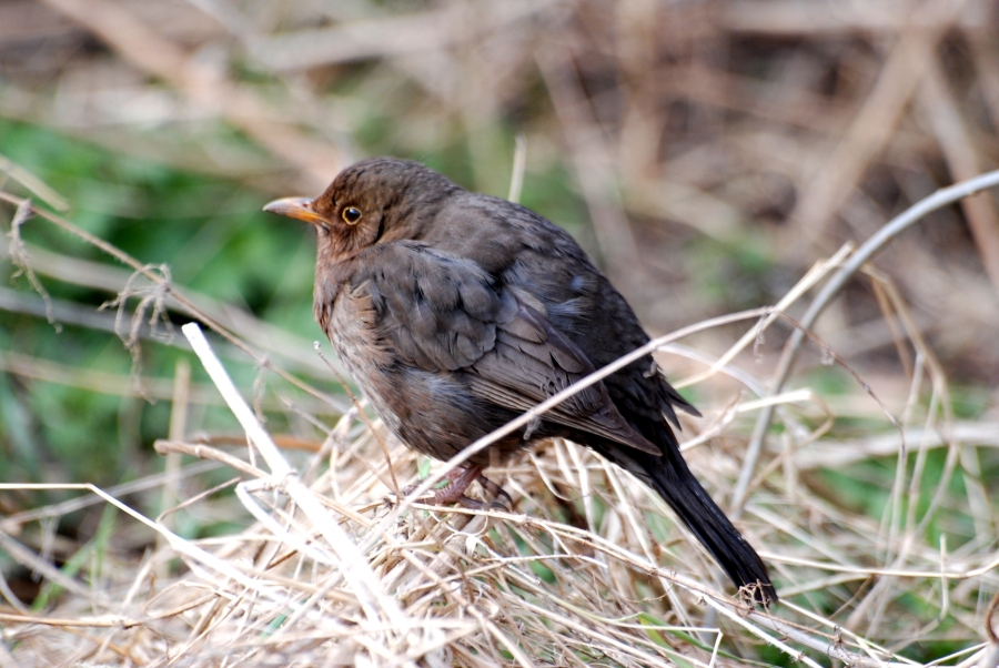 Female Blackbird looking miserable