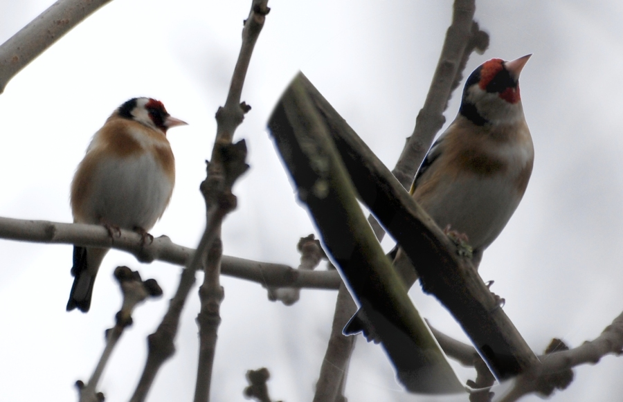 Stret lock goldfinches