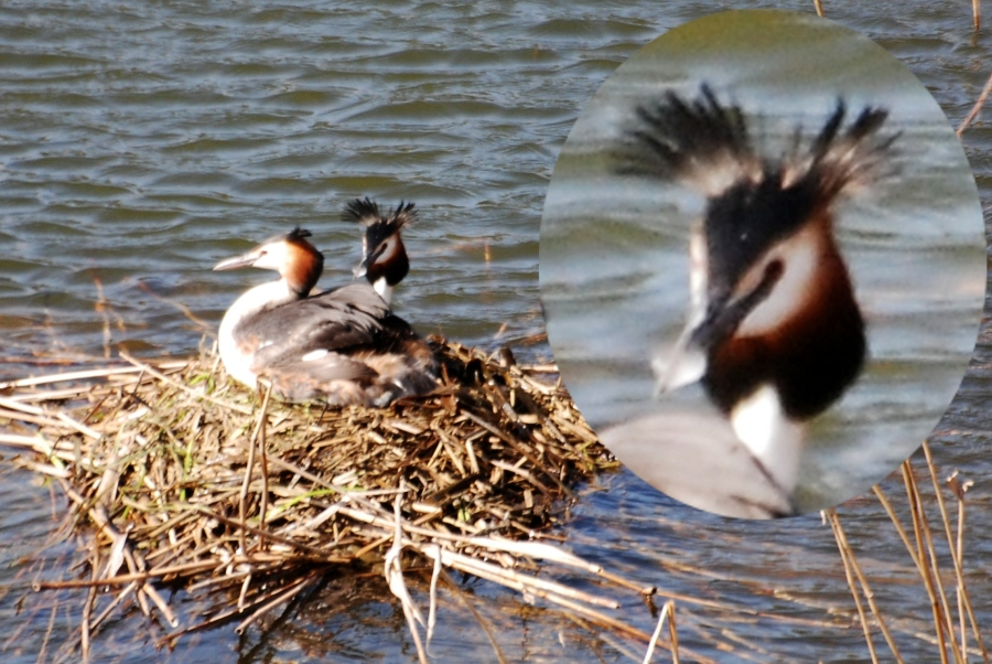 Why they call 'em great CRESTED grebes
