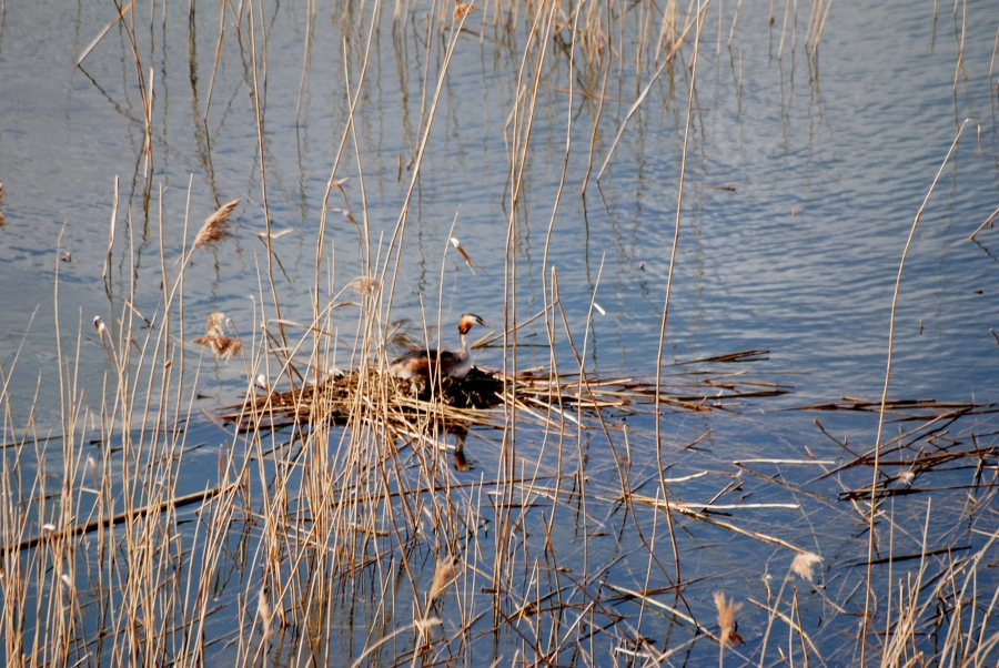 Here's the grebes' nest