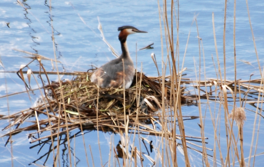 Grebe on nest