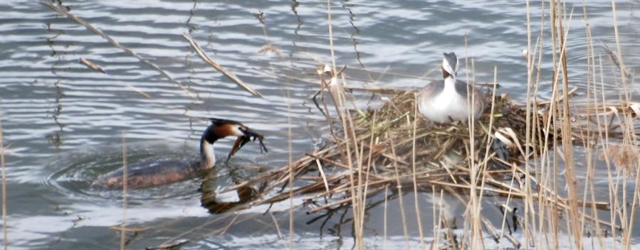 Bringing some nest material
