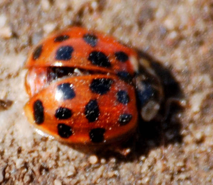 Early Ladybird