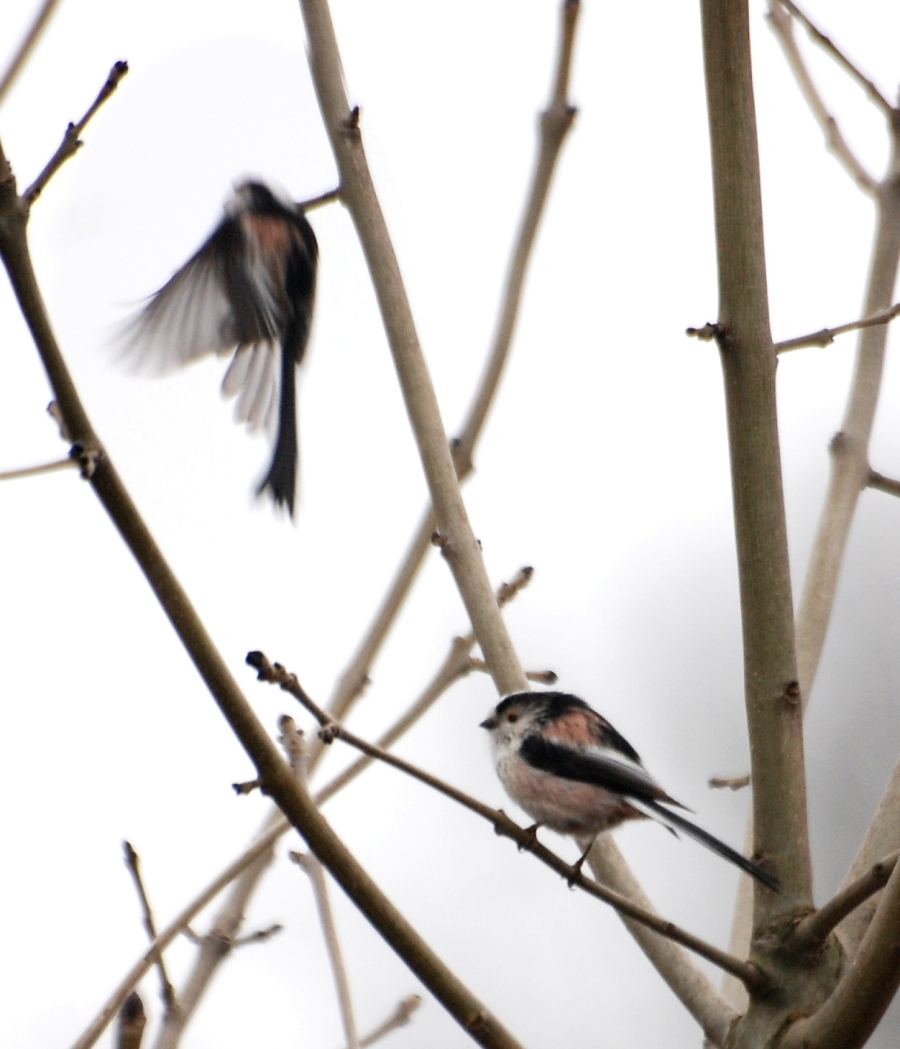A long tailed tit