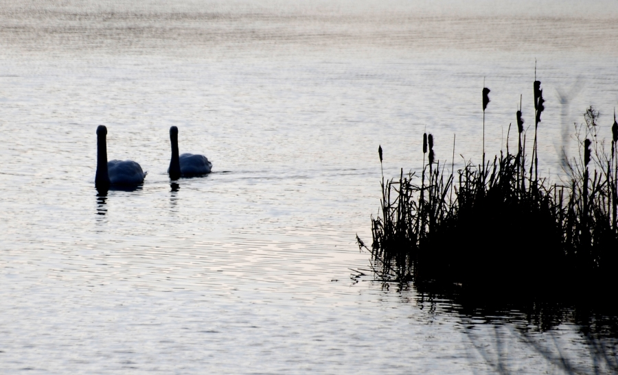 Swans in the morning light