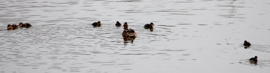 Here's mummy duck with the kids.
