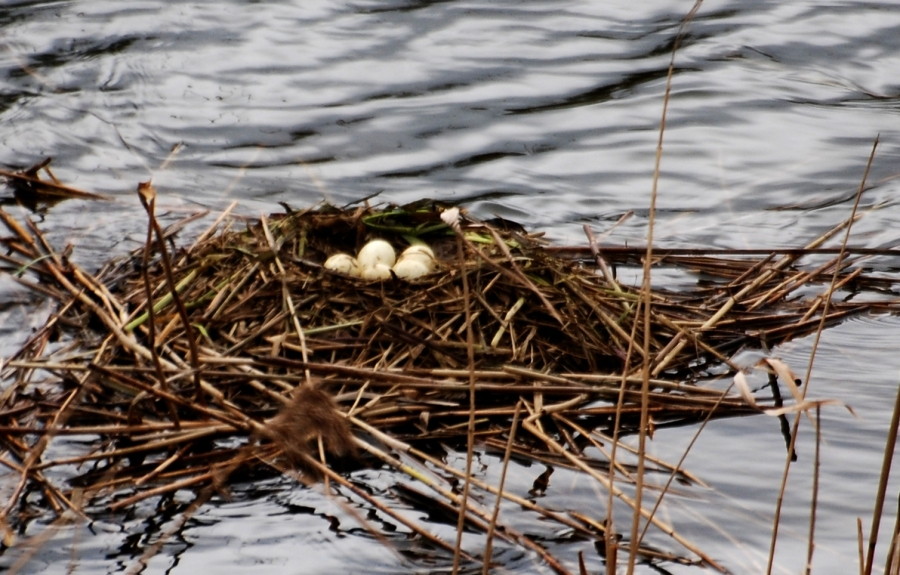 Grebe nest: I count FIVE eggs!