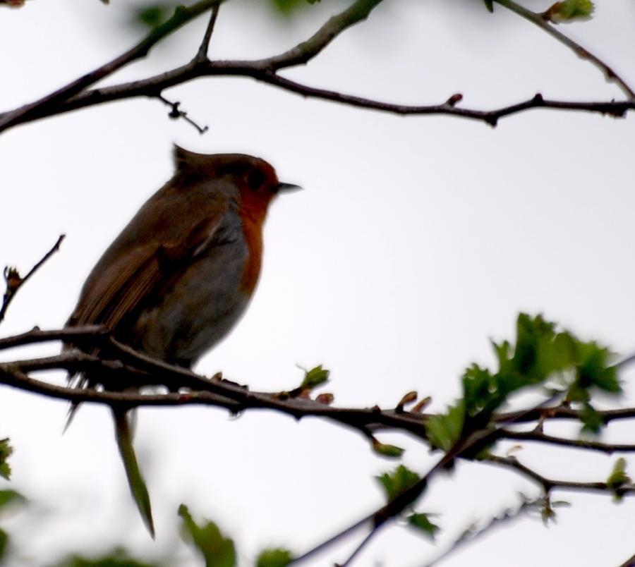 A robin a tad windblown.