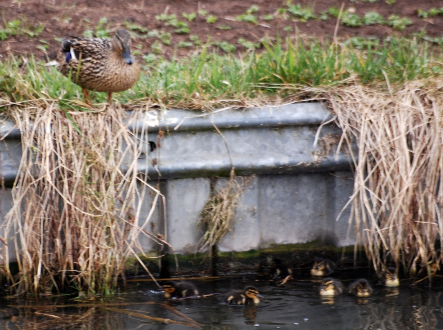Mallard scared to join her chicks